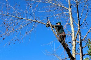 tom cutting down a limb on an old maple